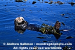 Sea Otter images
