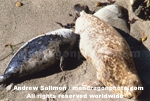 Harbor Seal images