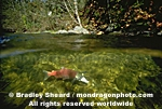 Sockeye Salmon Spawning images