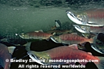 Sockeye Salmon Spawning pictures