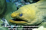 Green Moray pictures