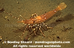 Spot Prawn pictures