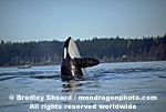 Orca Whale Spyhopping pictures
