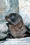 New Zealand Fur Seal Pup images