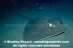 Atlantic Stingray pictures