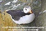 Horned Puffin pictures