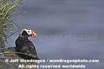 Tufted Puffin images