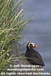 Tufted Puffin pictures
