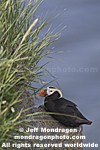 Tufted Puffin photos