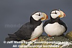Horned Puffins pictures