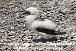 Immature Masked Booby photos