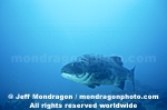 Giant Sea Bass images