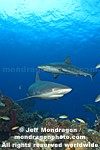 Caribbean Reef Sharks photos