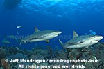 Caribbean Reef Sharks images