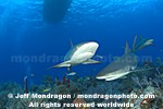 Caribbean Reef Sharks pictures