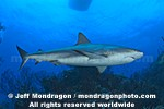 Caribbean Reef Shark images