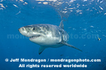 Great White Shark images