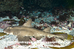 Horn Shark pictures