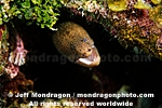 Goldentail Moray images