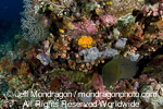 Giant Moray on Coral Reef pictures