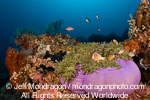 Pink Anemonefish pictures