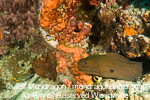 Giant Moray on Coral Reff photos