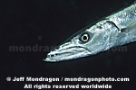 Great Barracuda pictures