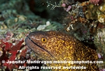 Yellow-margined Moray photos
