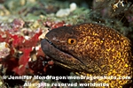 Yellow-margined Moray pictures