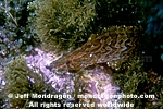 Giant Kelpfish photos