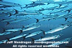 Chevron Barracuda pictures