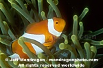 False Clown Anemonefish pictures