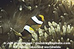 Anemone Fish images