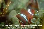 Spine-cheek Anemonefish photos