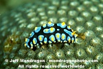 Nudibranch images