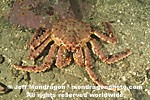 Alaskan King crab photos