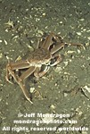 Tanner Crab photos