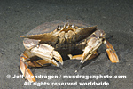 Dungeness Crab photos