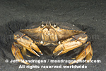 Dungeness Crab pictures