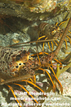 California Spiny Lobster images