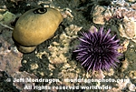 Purple Urchin  pictures