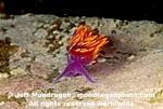 Spanish Shawl Nudibranch pictures