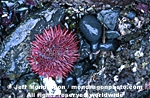 Red Sea Urchin images
