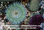 Giant Green Anemone pictures