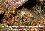 Giant Pacific Octopus images