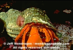 Orange Hermit Crab pictures