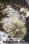 Green Sea Urchin photos