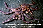 Red King Crab images