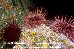 Red Sea Urchins pictures