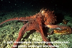 Giant Pacific Octopus pictures